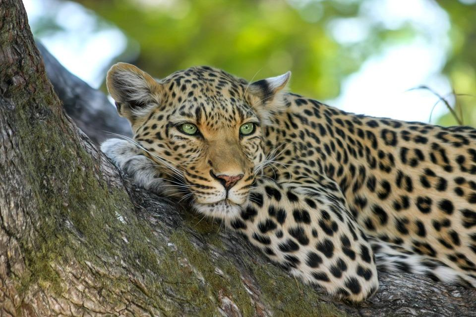 leopard 515509 960 720 - NAMIBIA – BOTSWANA – ZIMBABWE – wyprawa do wodospadów Wiktorii