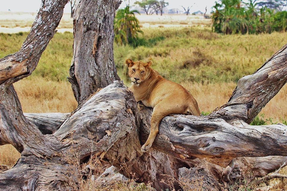 lion 277328 960 720 - TANZANIA I ZANZIBAR