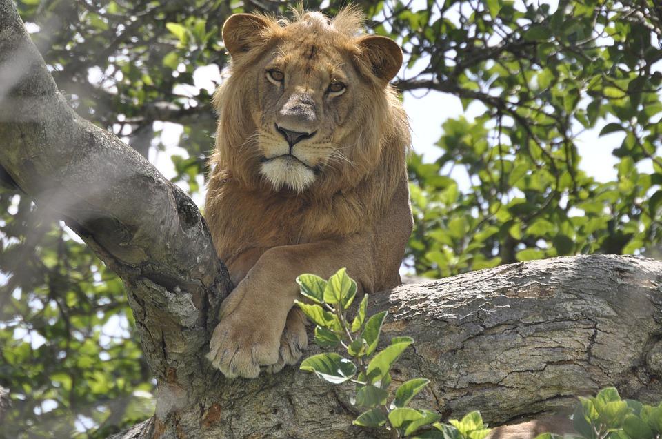 lion 4828189 960 720 - UGANDA – Perła Afryki