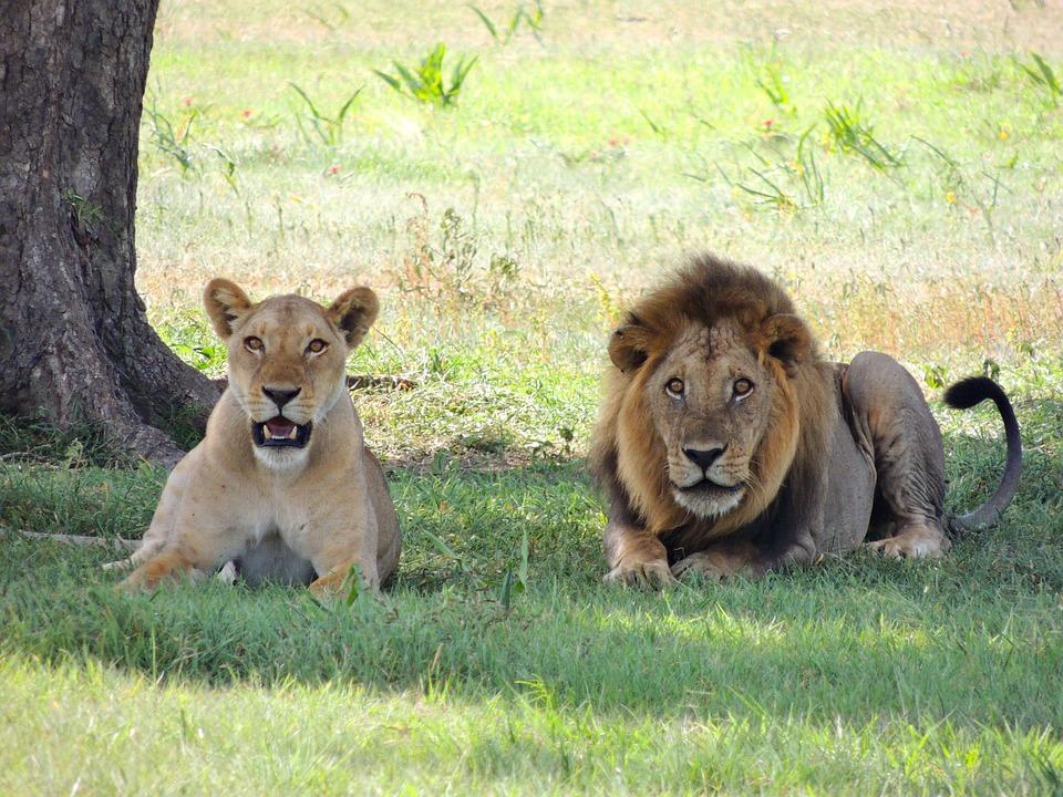 lions 175934 960 720 - TANZANIA I ZANZIBAR
