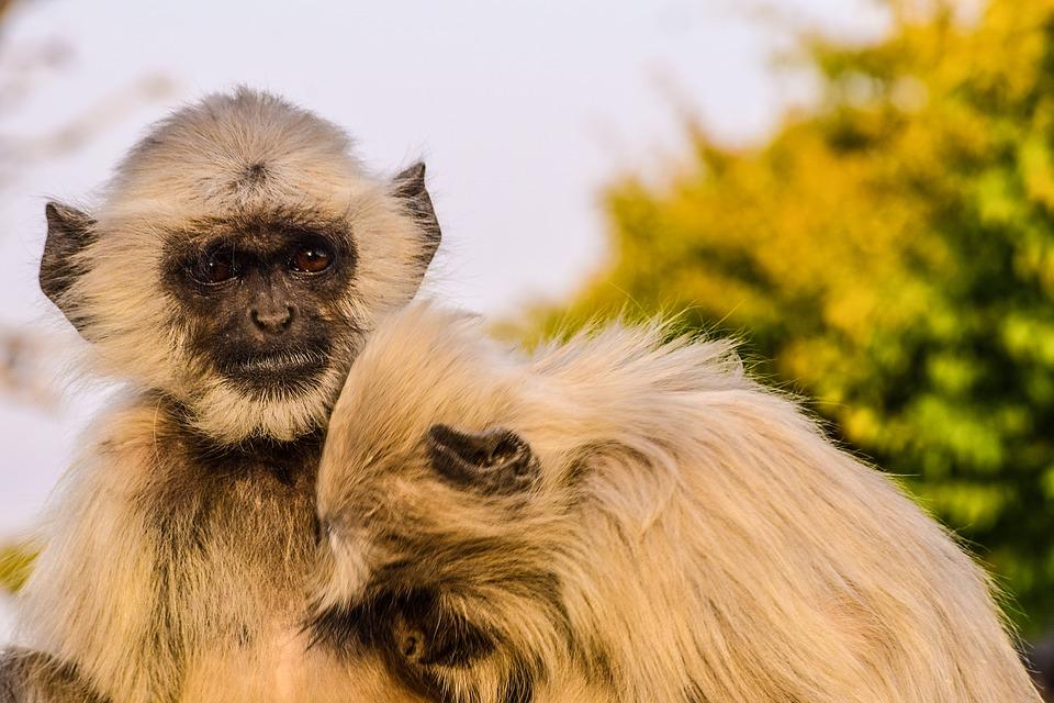 monkeys 2725138 960 720 - INDIE: Radżastan i wycieczka na Goa
