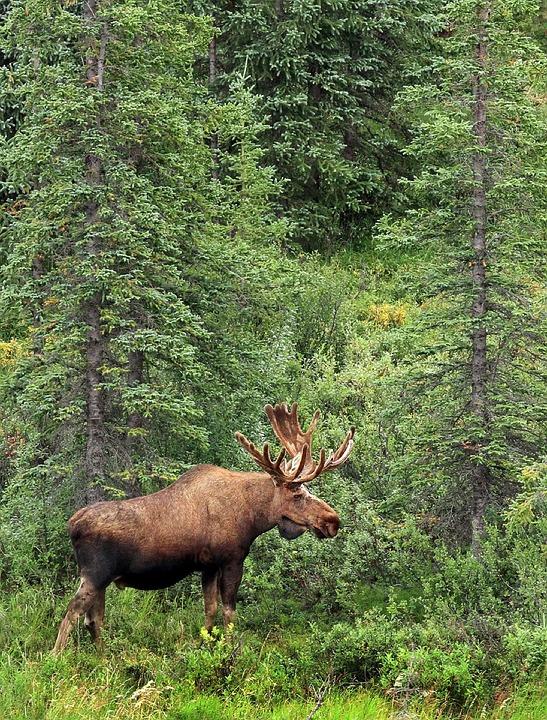 moose 1186034 960 720 - KANADA: od Toronto po Vancouver