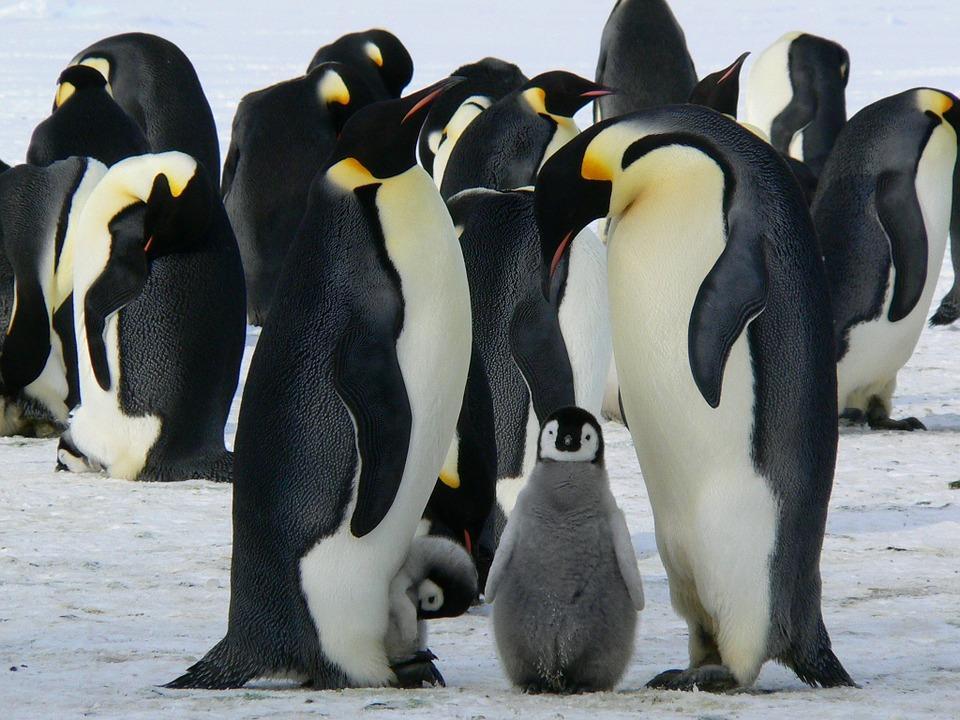 penguins 429128 960 720 - ANTARKTYDA – PODRÓŻ PRZEZ TRZY KONTYNENTY: Rejs z Nowej Zelandii do Argentyny