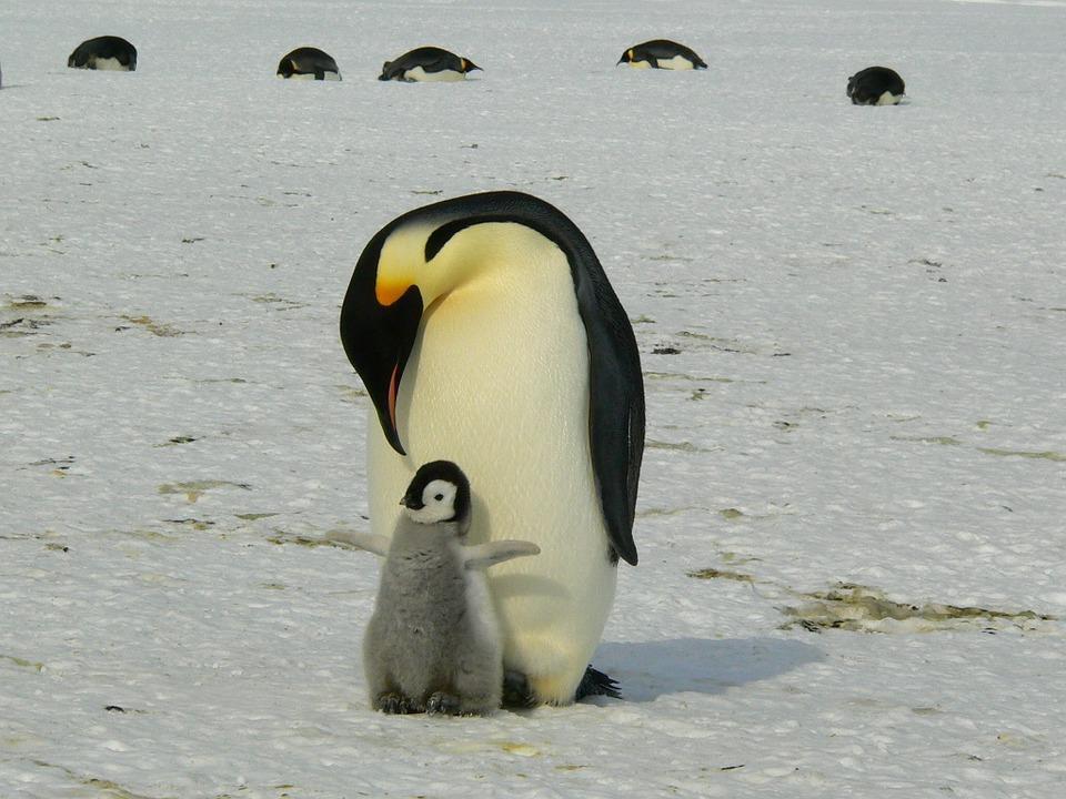 penguins 429134 960 720 - ANTARKTYDA – PODRÓŻ PRZEZ TRZY KONTYNENTY: Rejs z Nowej Zelandii do Argentyny