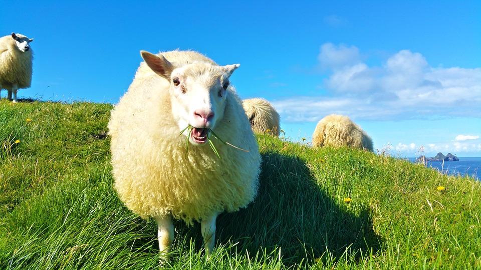 sheep 1798950 960 720 - ISLANDIA: magiczna wyprawa dookoła wyspy