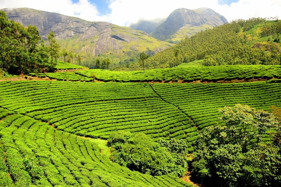 tea plantation 1751369 960 720 - INDIE POŁUDNIOWE: Kerala i festiwal Theyyam - wycieczka