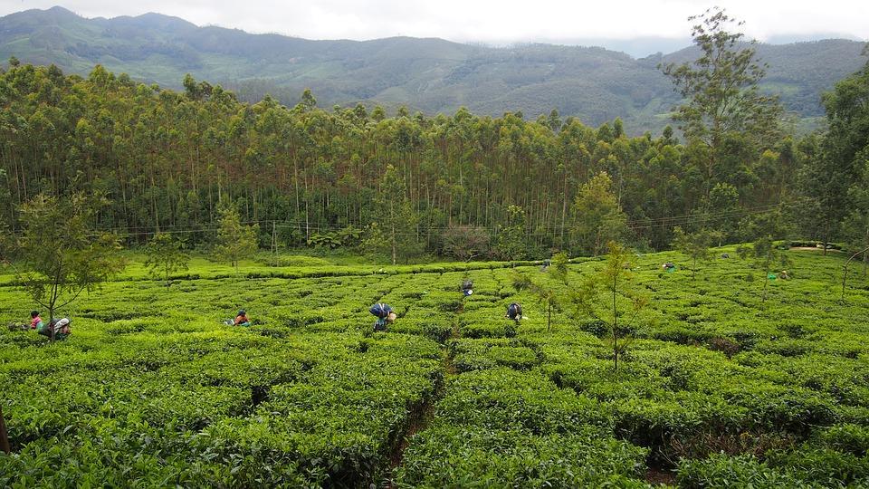 tea plantation 1910714 960 720 - INDIE POŁUDNIOWE: Kerala i festiwal Theyyam - wycieczka