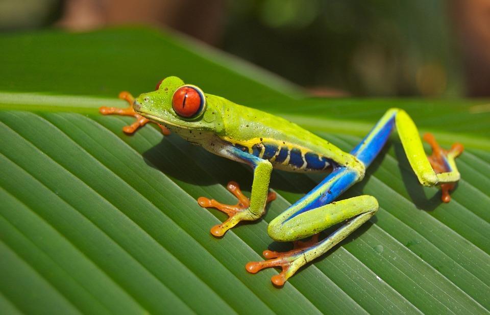 tree frog 69813 960 720 - 8 KRAJÓW AMERYKI ŚRODKOWEJ