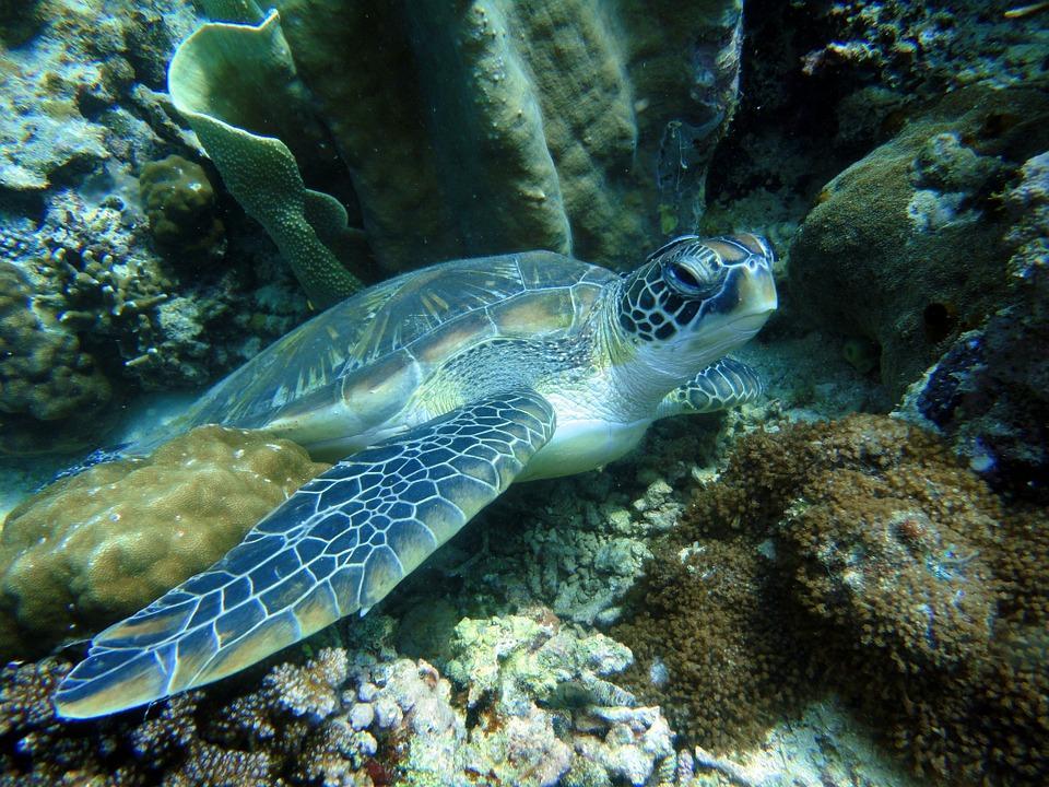 turtle 322416 960 720 - FILIPINY: Bohol, Cebu, El Nido, Palawan, Manila i tarasy ryżowe Bangaan - wycieczka