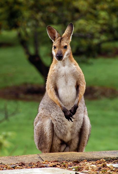 wallaby 2389791 960 720 - AUSTRALIA z Tasmanią: kangury, psy dingo, diabły tasmańskie i misie koala – wyprawa