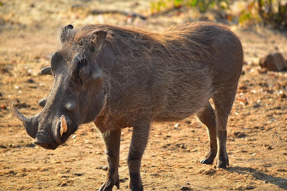 warthog 1401822 960 720 - NAMIBIA – BOTSWANA – ZIMBABWE – wyprawa do wodospadów Wiktorii