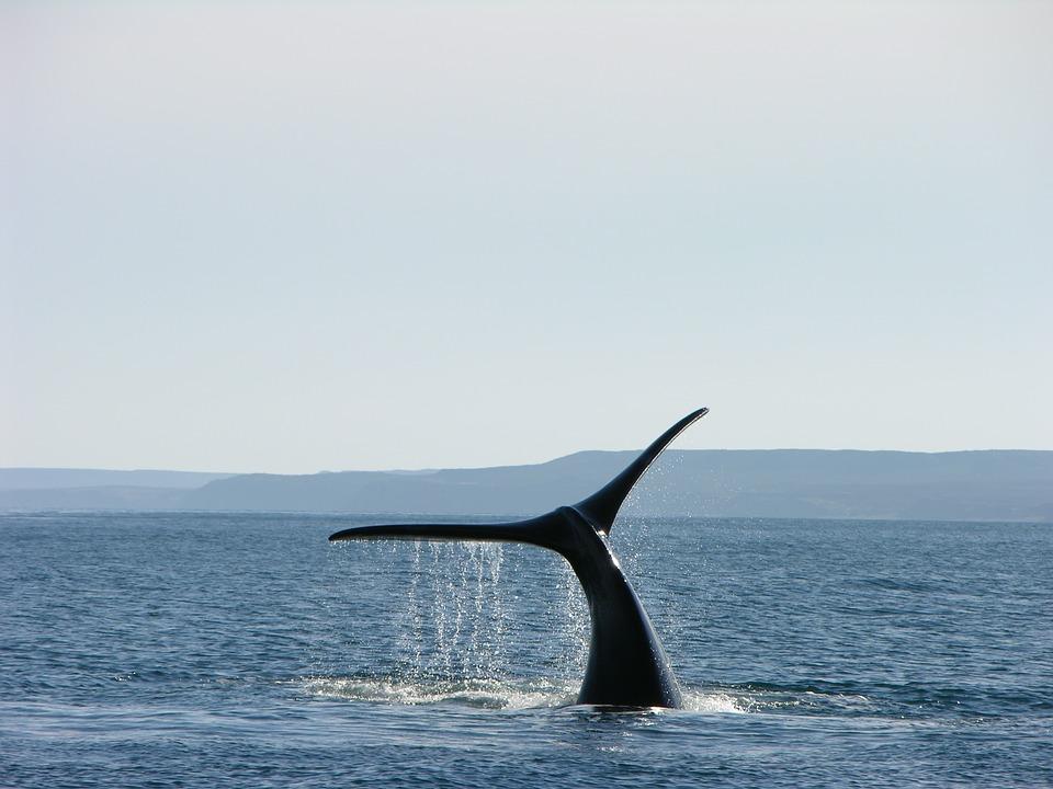 whale 1181395 960 720 - ARGENTYNA: obserwacja wielorybów na Półwyspie Valdes