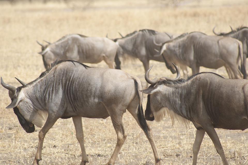 wildebeest 1510901 960 720 - KENIA: wyprawa nad Jezioro Turkana: Nefrytowe Morze Afryki