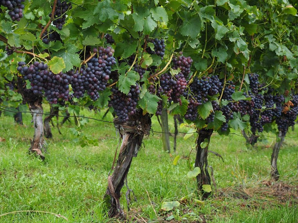 wine berries 694198 960 720 - MOŁDAWIA z Gagauzją i Naddniestrzem
