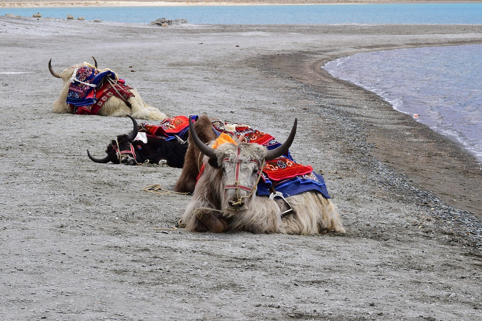 yak 2674346 960 720 - INDIE - Ladakh – Kaszmir: wyprawa na Festiwal Hemis Tsechu