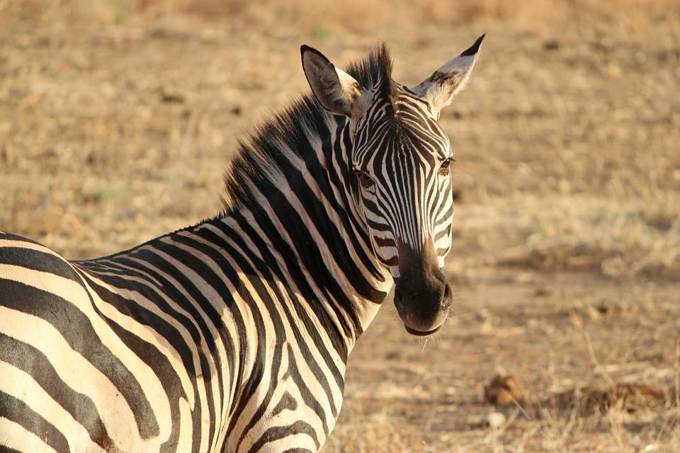 zebra 175085 960 720 - TANZANIA I ZANZIBAR