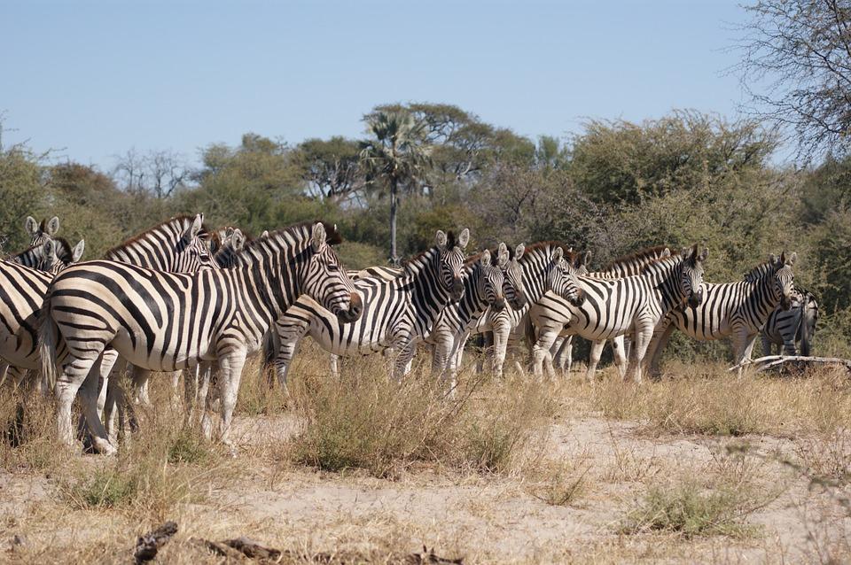 zebra 750959 960 720 - NAMIBIA – BOTSWANA – ZIMBABWE – wyprawa do wodospadów Wiktorii