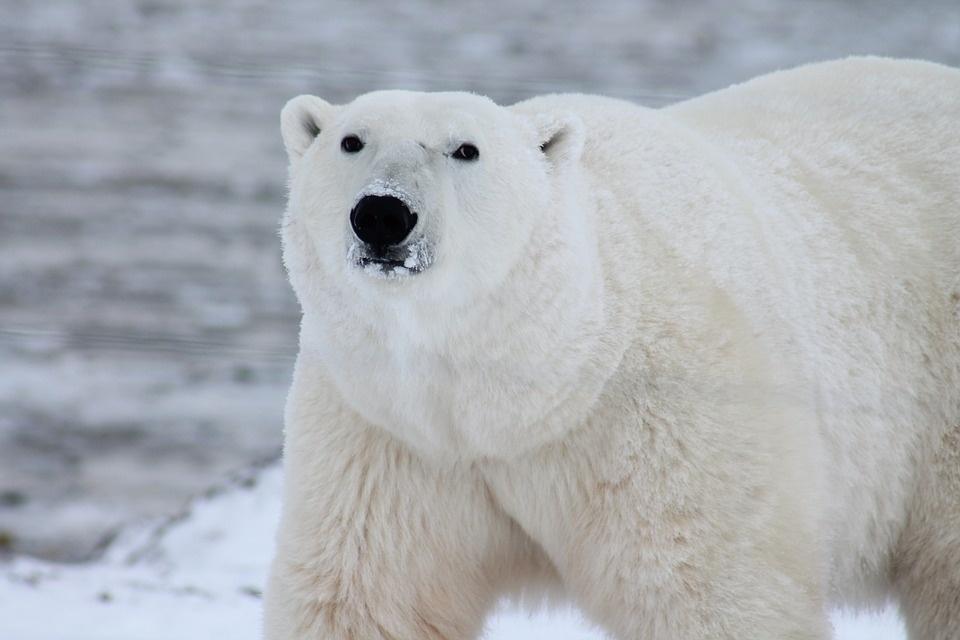 polar bear 404314 960 720 - SPITSBERGEN: wyspa na dachu świata – wyprawa