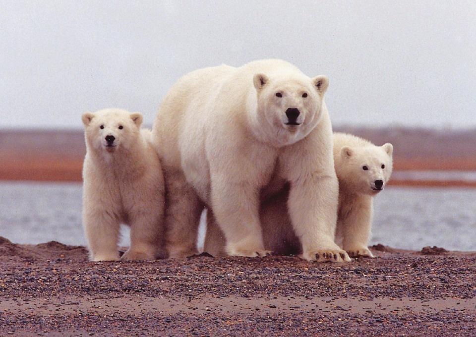 polar bear 674001 960 720 - SPITSBERGEN: wyspa na dachu świata – wyprawa