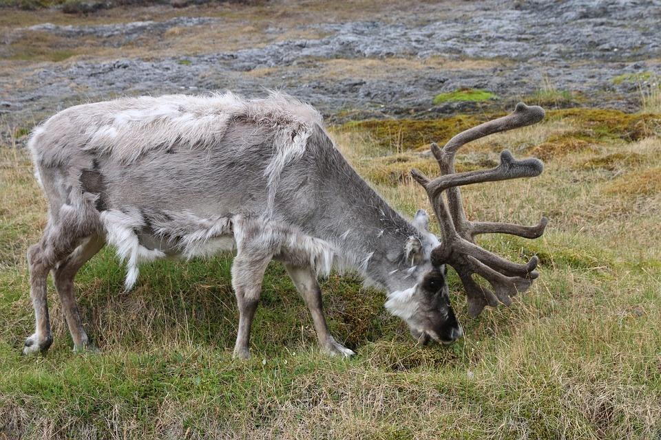 svalbard reindeer 2144689 960 720 - SPITSBERGEN: wyspa na dachu świata – wyprawa