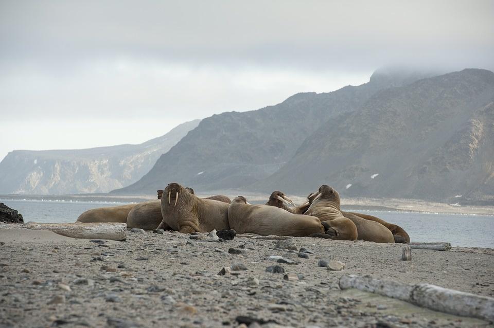 walrus 2809181 960 720 - SPITSBERGEN: wyspa na dachu świata – wyprawa
