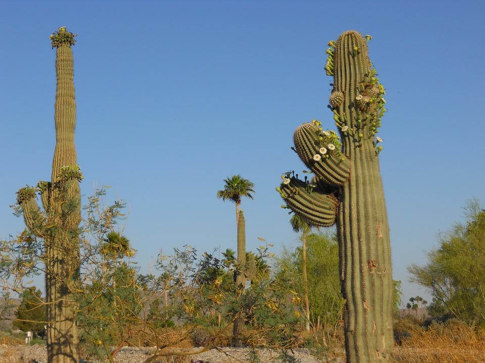 saguaro cactus 102291 960 720 - USA: Teksas, Nowy Meksyk i Arizona