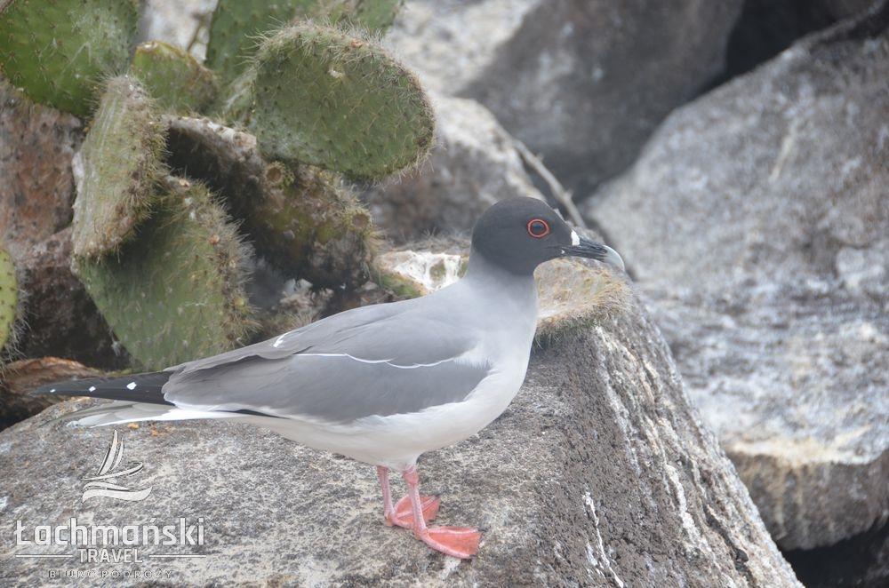 DSC 8011 wm - Galapagos- fotorelacja Bogusława Łachmańskiego