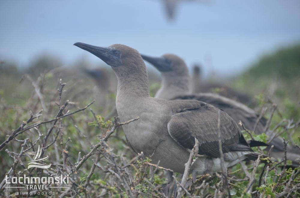 DSC 8197 wm - Galapagos- fotorelacja Bogusława Łachmańskiego