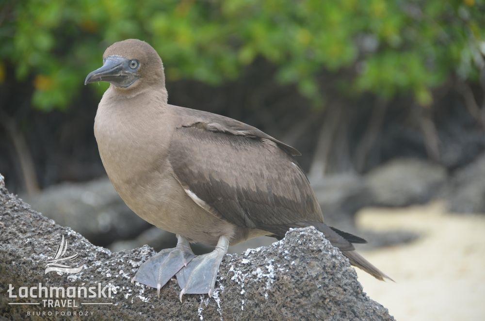DSC 8336 wm - Galapagos- fotorelacja Bogusława Łachmańskiego