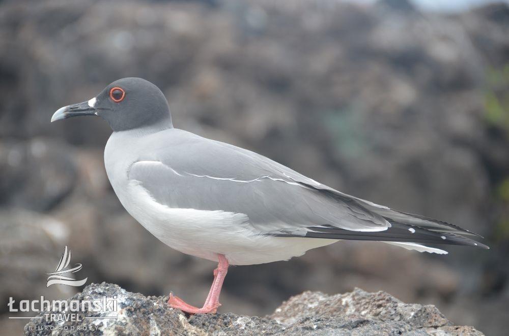DSC 8362 wm - Galapagos- fotorelacja Bogusława Łachmańskiego