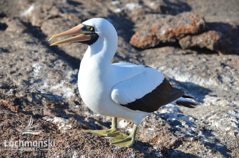 DSC 8860 wm - Galapagos- fotorelacja Bogusława Łachmańskiego