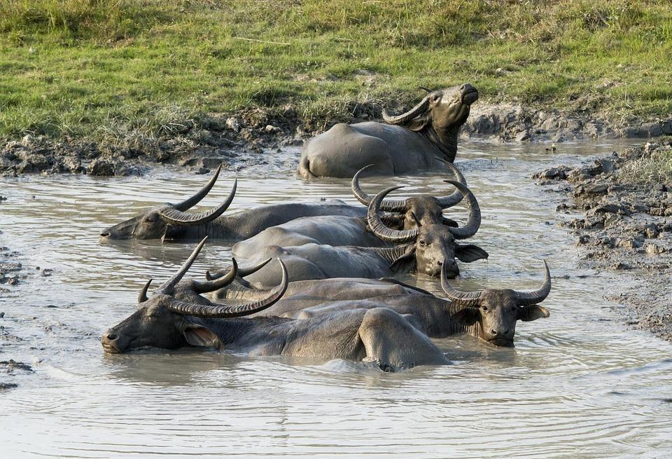 buffalo 335715 960 720 1 - INDIE: Assam i Nagaland - Plemiona Naga i Festiwal Hornbill