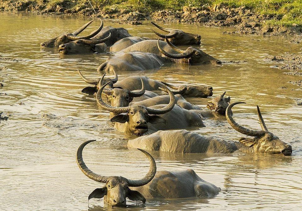 buffalo 335718 960 720 - INDIE: Assam i Nagaland - Plemiona Naga i Festiwal Hornbill