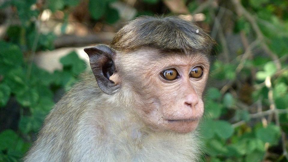 monkey 1351791 960 720 - SRI LANKA