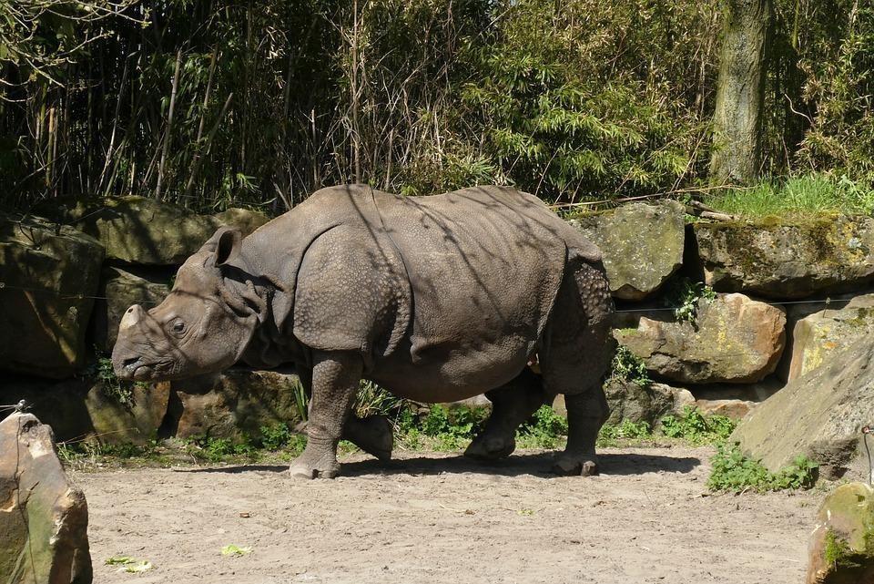 rhino 3426850 960 720 - INDIE: Assam i Nagaland - Plemiona Naga i Festiwal Hornbill