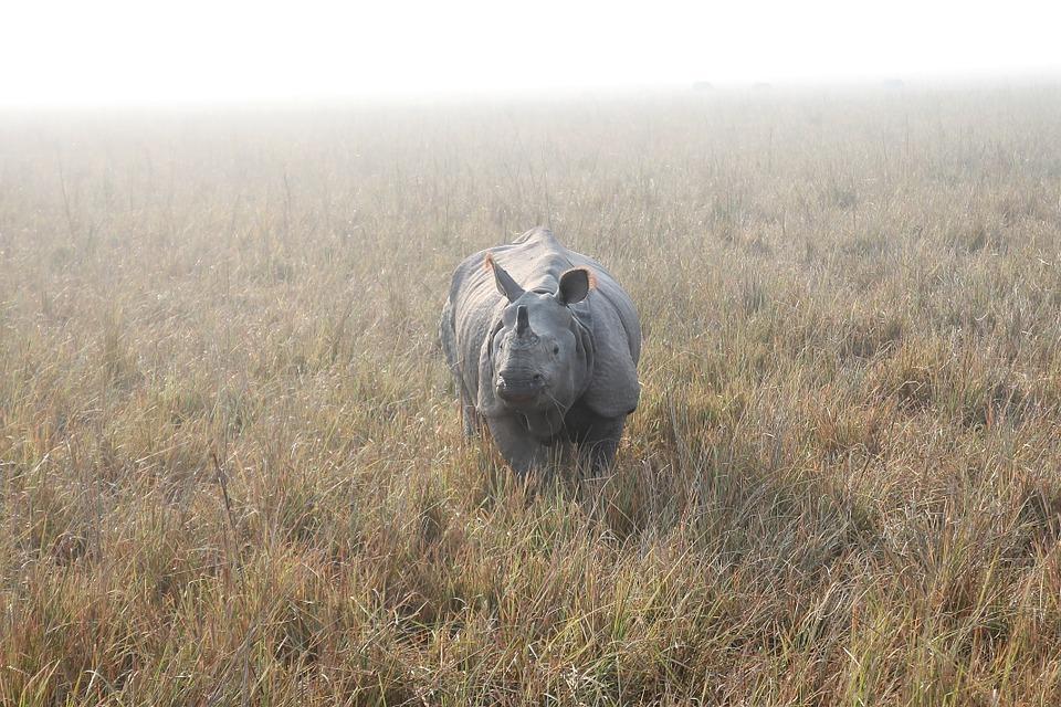 rhino 804414 960 720 - INDIE: Assam i Nagaland - Plemiona Naga i Festiwal Hornbill