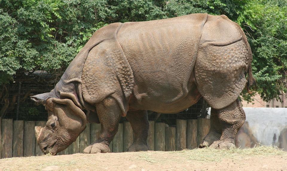 rhinoceros 709477 960 720 - INDIE: Assam i Nagaland - Plemiona Naga i Festiwal Hornbill