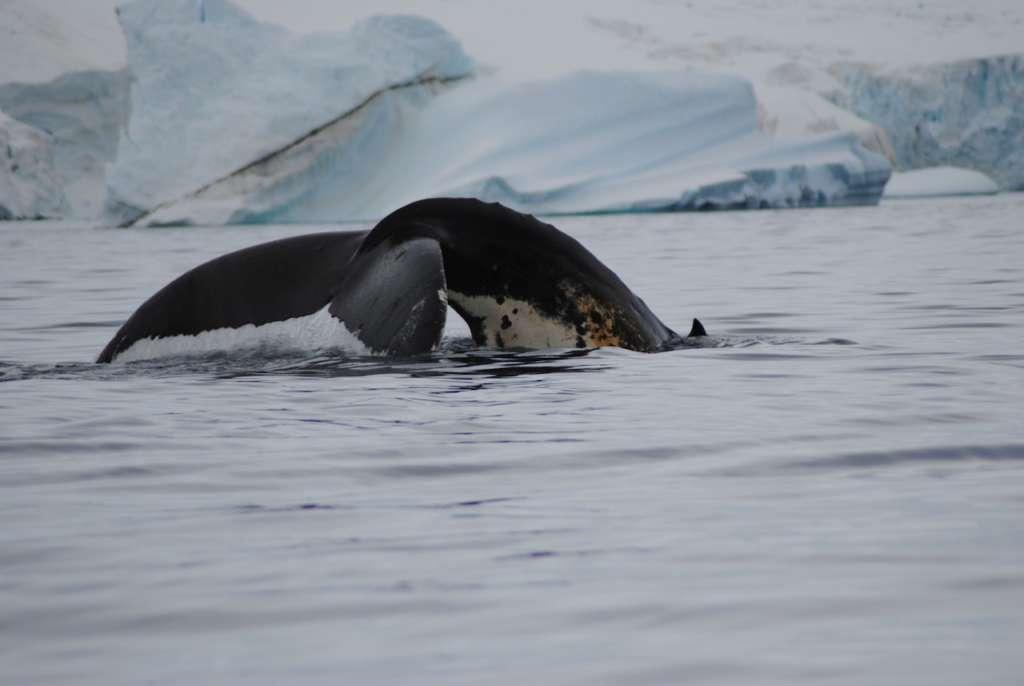 humpback whale jamie scherbeijn oceanwide expeditions 1024x686 - ANTARKTYDA – PODRÓŻ PRZEZ TRZY KONTYNENTY: Rejs z Nowej Zelandii do Argentyny