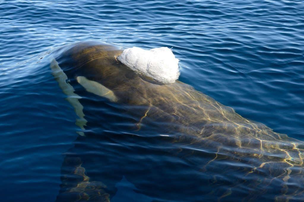 orca ross sea michael wenger oceanwide expeditions 1024x683 - ANTARKTYDA – PODRÓŻ PRZEZ TRZY KONTYNENTY: Rejs z Nowej Zelandii do Argentyny