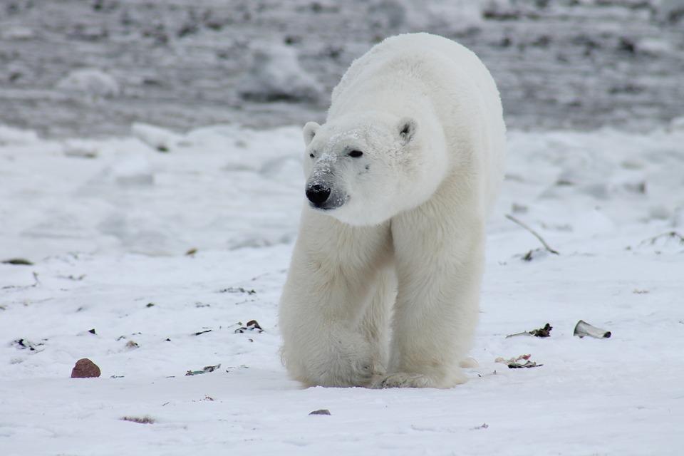 polar bear 404317 960 720 - BIEGUN PÓŁNOCNY – wycieczka na szczyt Ziemi