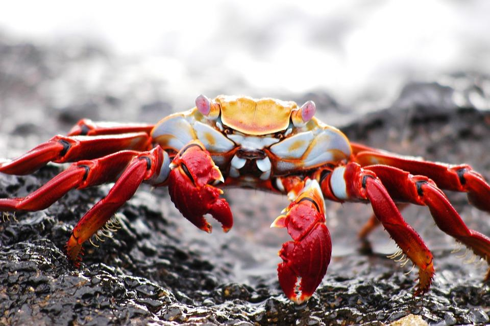 crab 2113968 960 720 - GALAPAGOS