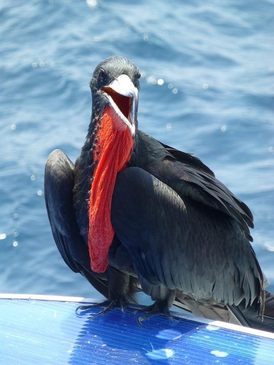 frigate bird 891294 960 720 - GALAPAGOS