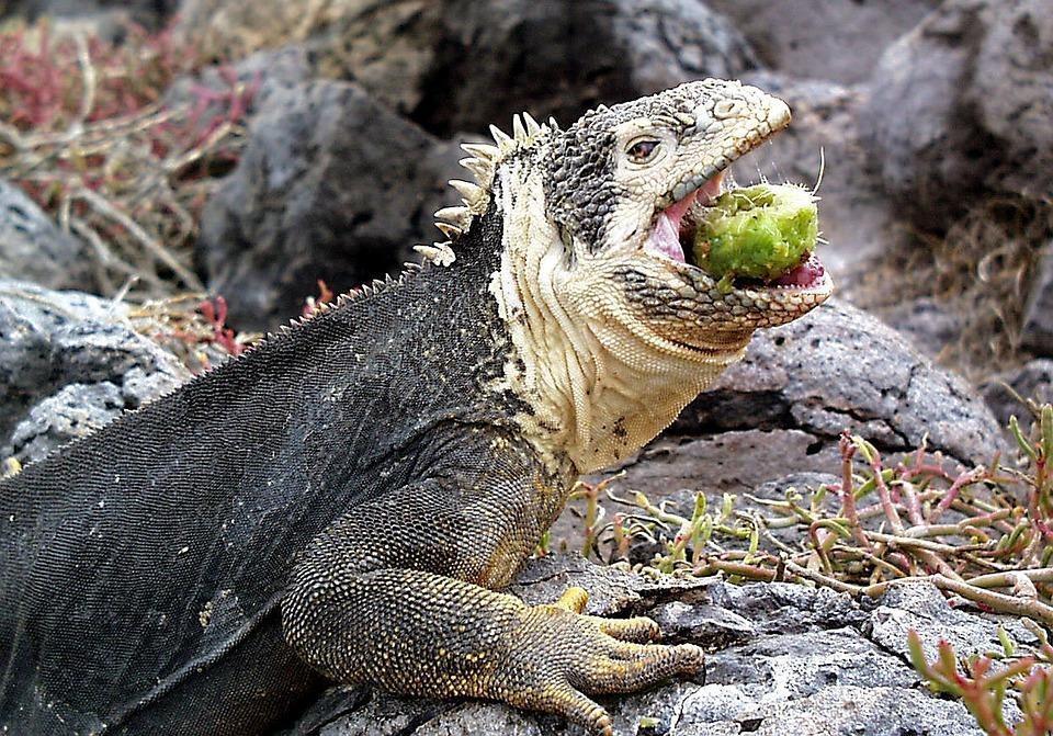iguana 2391541 960 720 - GALAPAGOS