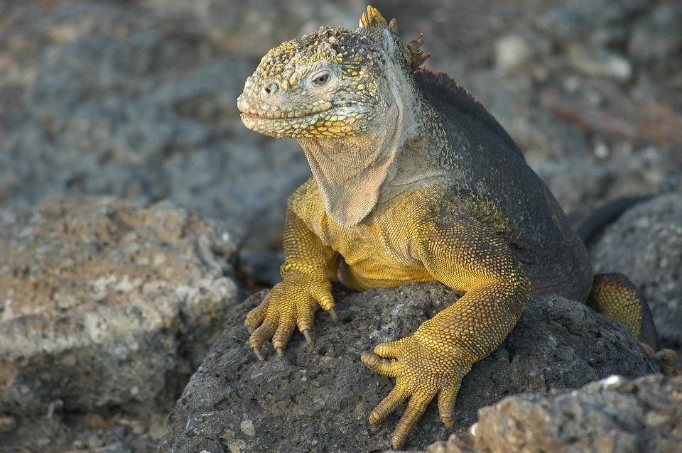 lizard 2113966 960 720 - GALAPAGOS