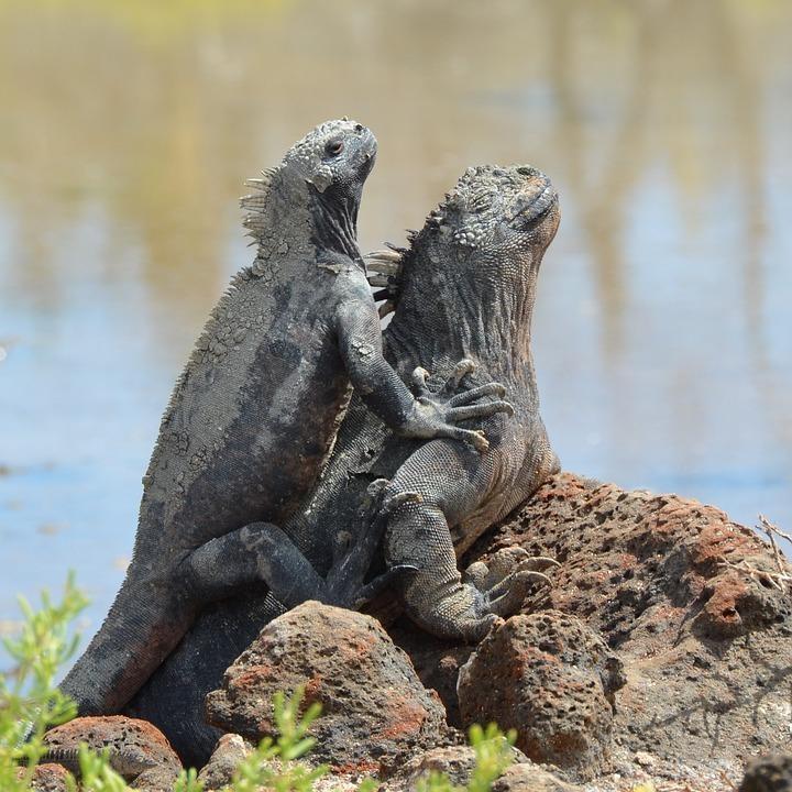 marine iguana 2411230 960 720 - GALAPAGOS