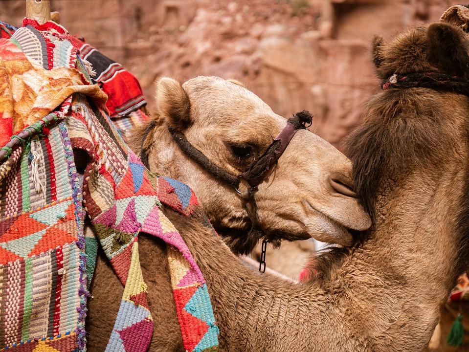 camels 4987087 960 720 - JORDANIA: zwiedzanie + wypoczynek nad Morzem Martwym i Morzem Czerwonym