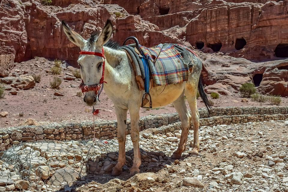donkey 4383393 960 720 - JORDANIA: zwiedzanie + wypoczynek nad Morzem Martwym i Morzem Czerwonym