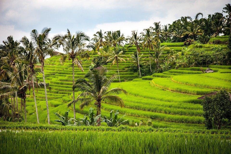 rice 1514141 960 720 - BALI – zwiedzanie + wypoczynek