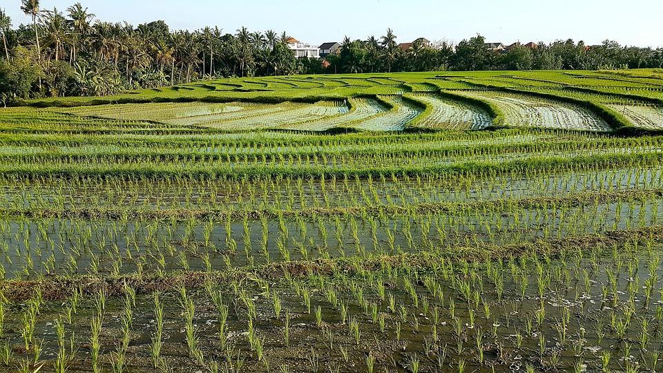 rice fields 5413491 960 720 - BALI – zwiedzanie + wypoczynek