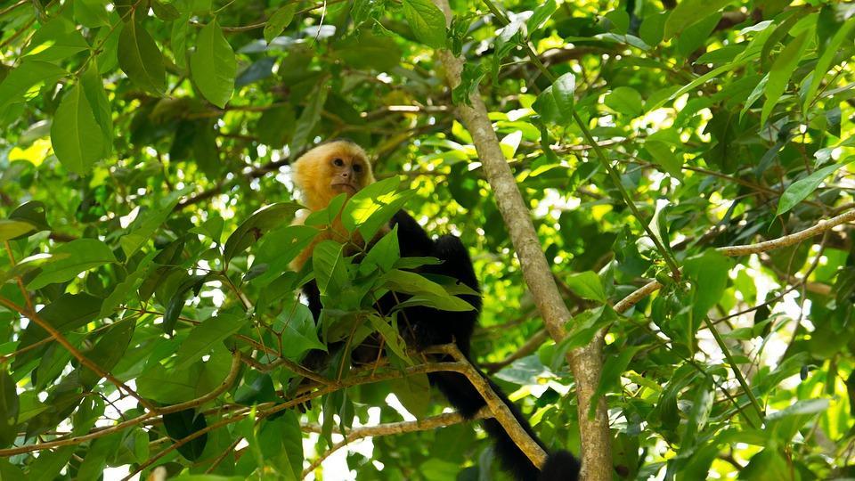 capuchin monkey 2532408 960 720 - KOSTARYKA – PARKI NARODOWE, LENIWCE I WISZĄCE MOSTY